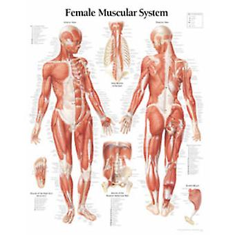 Female Muscular System by Scientific Publishing