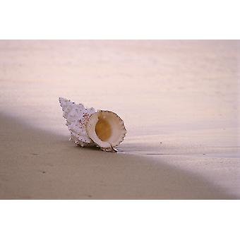Hawaii Detail Of Seashell Lying On Shoreline Beach At Dawn Wet Sand PosterPrint