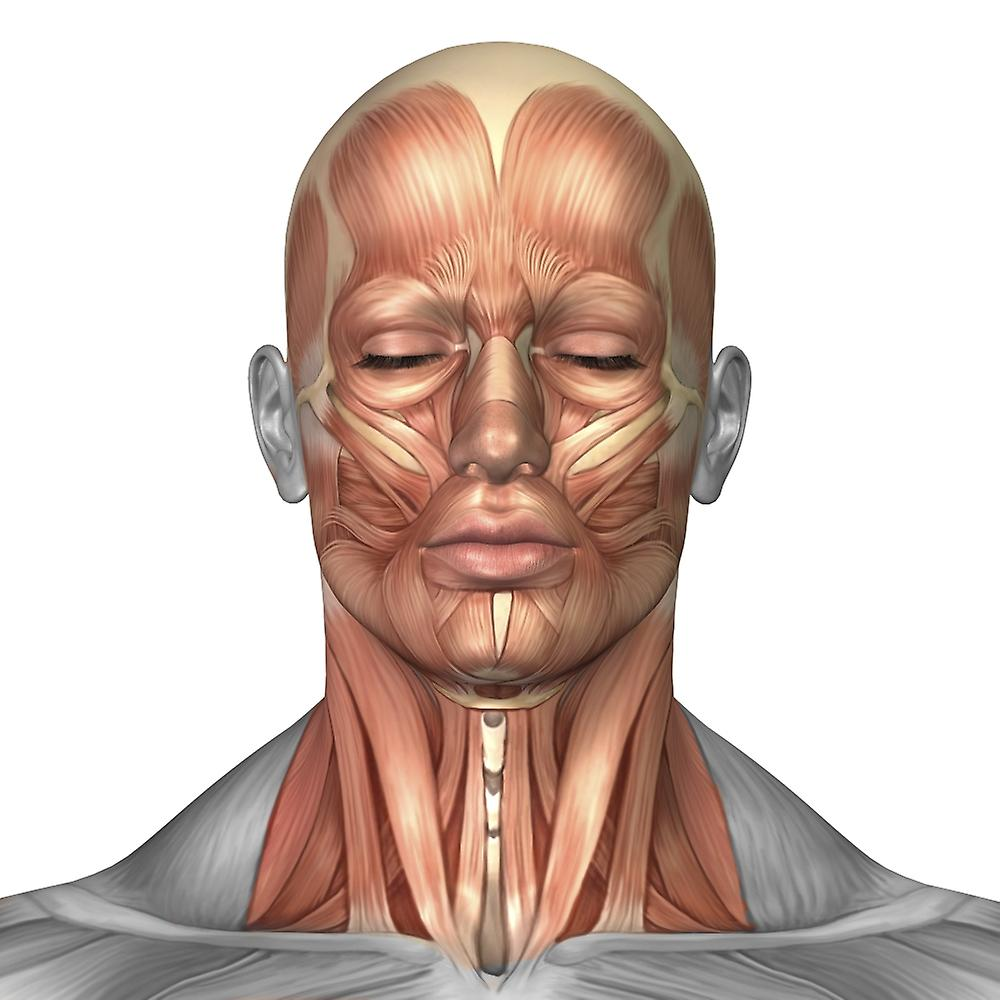 facial-and-neck-muscles