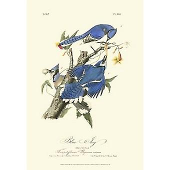 Audubon Blue Jays Poster Print by John James Audubon (13 x 19)