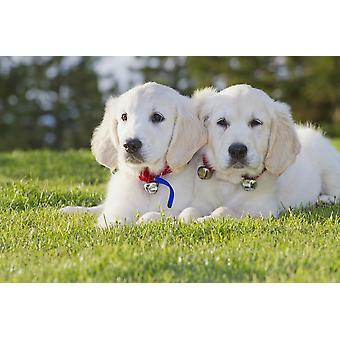 Deux chiots Golden Retriever pose ensemble dans parc PosterPrint