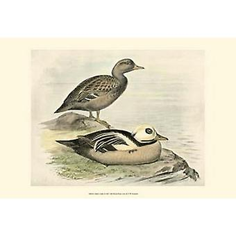 Stellers Eider Poster Print by FW Frohawk (19 x 13)