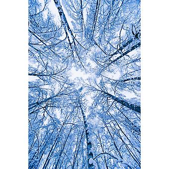Tree Top Abstract Of A Snow Covered Birch Forest Winter Anchorage Alaska PosterPrint