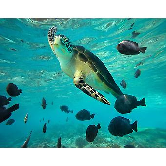 Green Sea Turtle Balicasag Island Philippines Poster Print by Tim Fitzharris