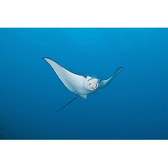 Eagle Ray Ari and Male Atoll Maldives Poster Print