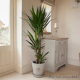 Yucca elephantipes 3 stem 90/45/20cm in 24cm pot 1.3m tall