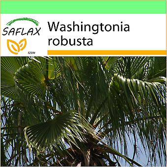 Saflax - Garden to Go - 12 seeds - Mexican Cotton Palm - Palmier éventail - Palma messicana  - Palma de California - Washingtonia Fächerpalme