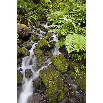 Oregon United States Of America Lush Green Foliage Along A Small Creek In Columbia River Gorge National Scenic Area PosterPrint