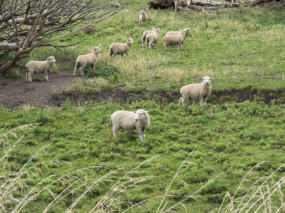 Flock of sheep grazing in a field State Highway 1 Taihape Manawatu-Wanganui North Island nouveau Zealand Poster Print by Panoramic Images (36 x 24)