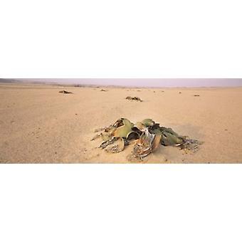 Welwitschia planta crescendo em um deserto de Namíbia Swakopmund Poster Print