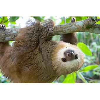 Hoffmanns Two-toed Sloth six month old orphan in tree Aviarios Sloth Sanctuary Costa Rica Poster Print by Suzi Eszterhas