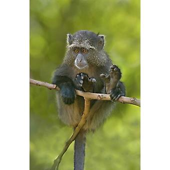 Close-up of a Blue monkey sitting on a branch Lake Manyara Arusha Region Tanzania (Cercopithecus mitis) Poster Print by Panoramic Images (16 x 24)