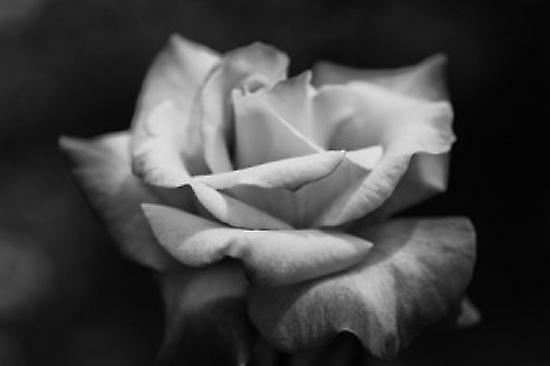 Close-up of a rose Los Angeles County California USA Poster Print by Panoramic Images (36 x 24)