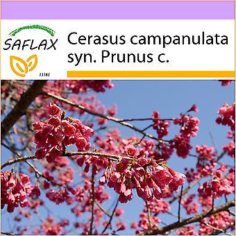 Saflax - 10 semi - Taiwan Cherry - Cerisier de Taïwan - Ciliegio di Taiwan - Cerezo ácido - Taiwan - Zierkirsche