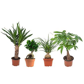 4 × Indoor plant – Tropical green plants mix | Ficus GinSeng, Beaucarnea, Pachira, Yucca