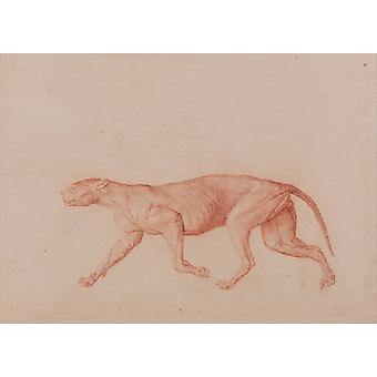 George Stubbs - Anatomical Structure of A Body Tiger Poster Print Giclee