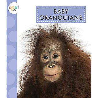 Baby Orangutans (Spot (Paperback))