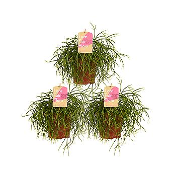Botanicly - Indoor Plants | 3 × Coral cacuts | Height: 20 cm | Rhipsalis cashero