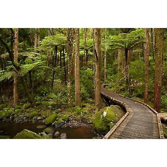 Footbridge over Waikoromiko Stream and forest North Island New Zealand Poster Print by David Wall