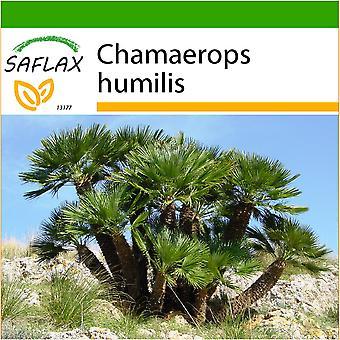 Saflax - 10 seeds - With soil - Dwarf Fan Palm - Palmier nain - Palma nana - Palma enana - Zwergpalme