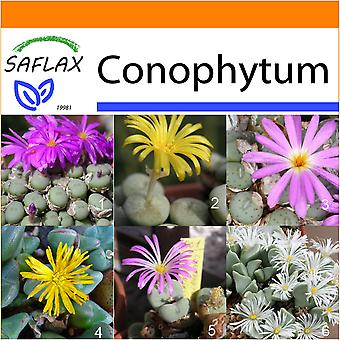 Saflax - Garden in the Bag - 40 seeds - Flowering Stones / Conophytum Mix - Des pierres fleurissantes / Mélange de Conophytum - Conophytum (mix) - Conophytum Mix - Blühende Steine / Conophytum Mix