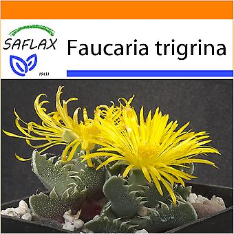 Saflax - Garden in the Bag - 40 seeds - Tiger Jaw - Gueule de tigre - Faucaria tigrina - Boca de tigre - Echter Tigerrachen