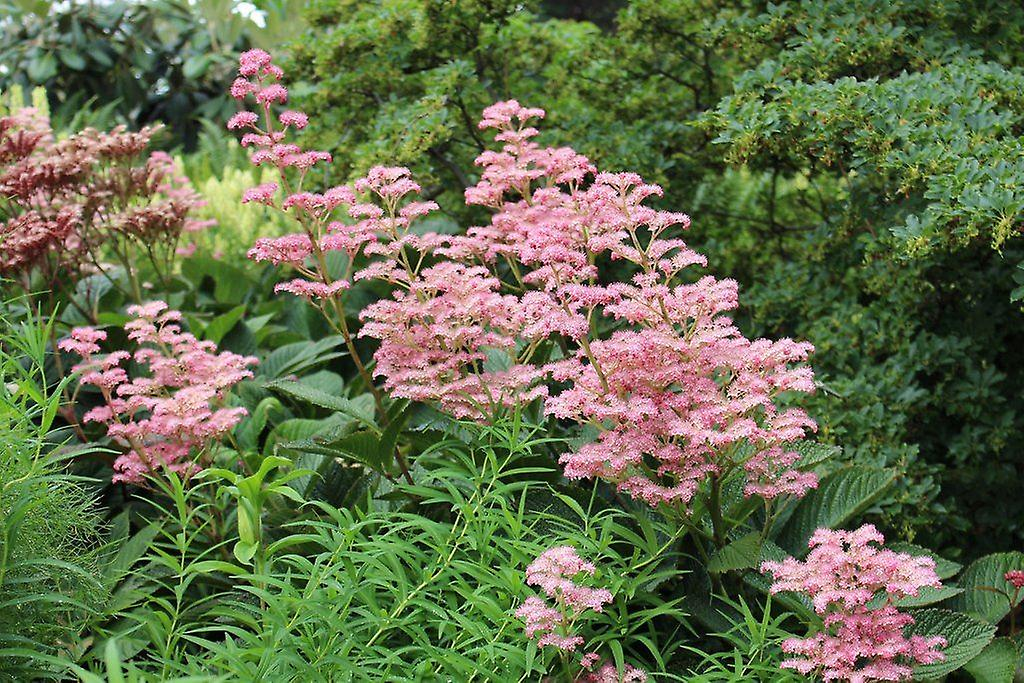 Rodgersia pinnata Superba - Plant in 9cm Pots