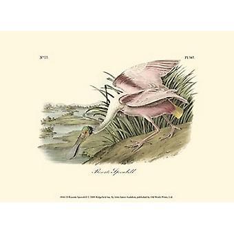Warzęcha różowa Poster Print przez John James Audubon (13 x 10)