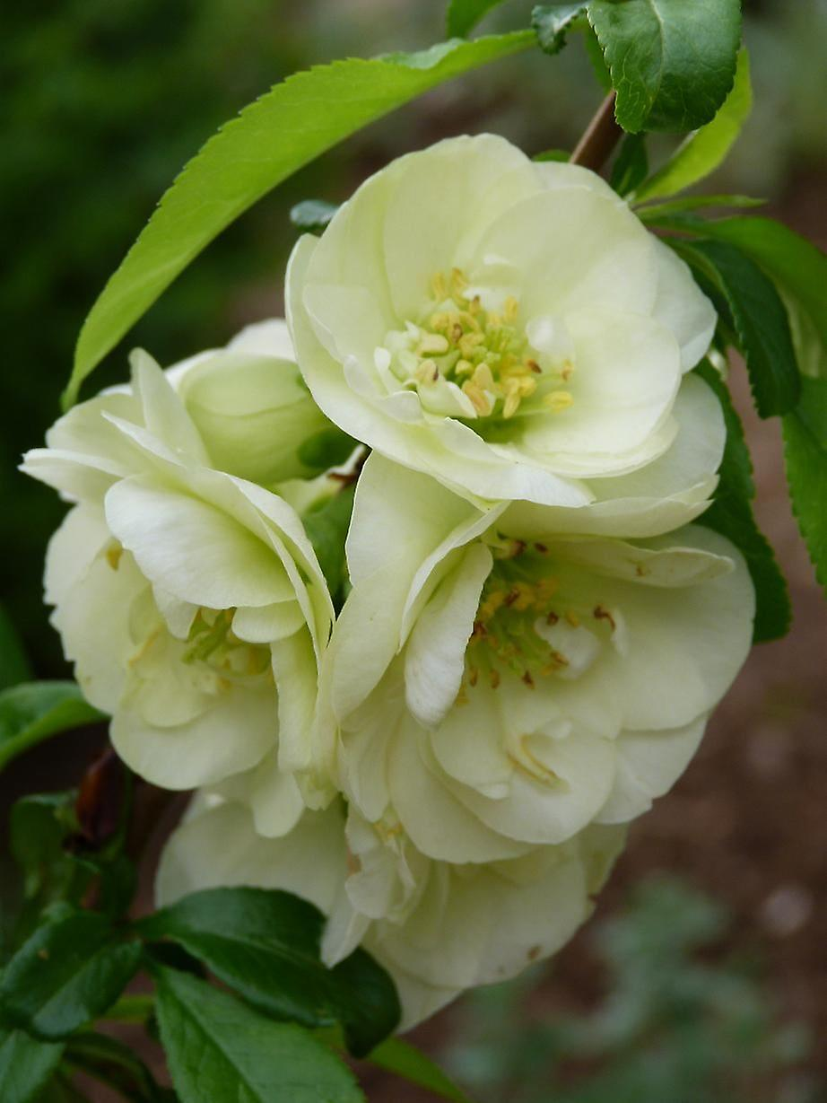 Chaenomeles superba Lemon and Lime - Japonica, Ornamental Quince, Plant in 9cm Pot
