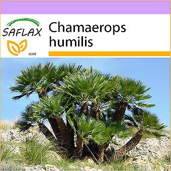 Saflax - 10 seeds - Dwarf Fan Palm - Palmier nain - Palma nana - Palma enana - Zwergpalme