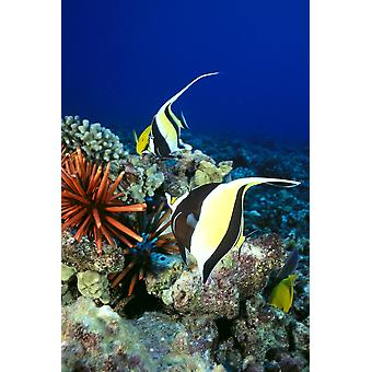 Hawaiian Reef scène Moorse idool leisteen potlood zee-egels en rif vis C1959 PosterPrint