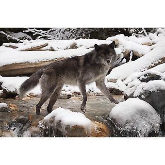 بوستيربرينت الذئب