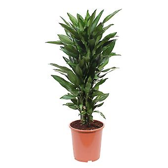 Choice of Green - 1 Dracaena Fragrans - Janet Lind