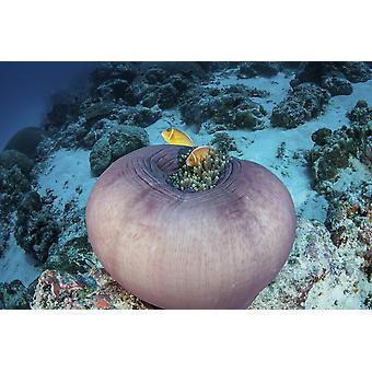 Anemonefish rose nager à proximité de leur anémone hôte sur un récif à Palau Poster Print