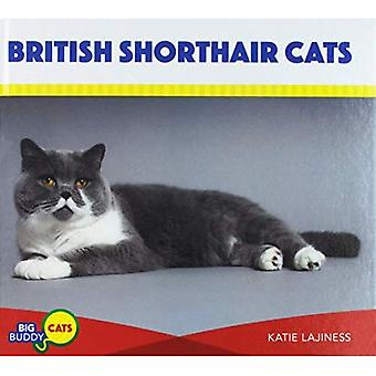 British Shorthair chats (Buddy gros chats)