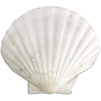 Gathered Clam Shell-  GCLAM