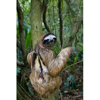 Brown-throated tre-tåede Sloth mandlige Aviarios Sloth Sanctuary Costa Rica plakat Print af Suzi Eszterhas