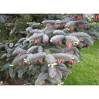 Abies procera Glauca - Noble Fir, Grafted Plant in 9cm Pot