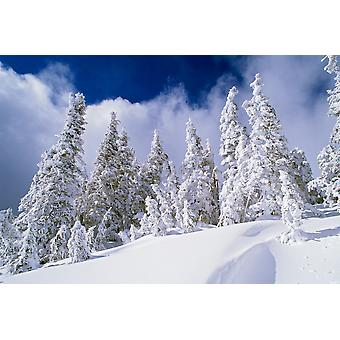 Low-Angle View Of Snow-Covered Pine Trees Poster Print