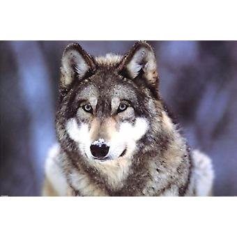 Grey Wolf Poster Poster Print