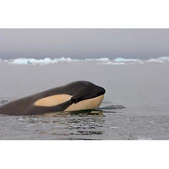 Killer whale Western Antarctic Peninsula Poster Print by Steve Kazlowski
