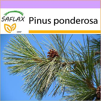 Saflax - 20 seeds - Ponderosa Pine - Pin ponderosa - Pino giallo - Pino amarillo occidental - Goldkiefer
