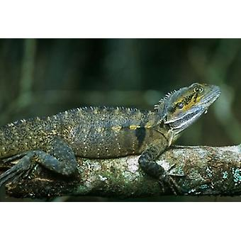 Australia Queensland Eastern Water Dragon lizard Poster Print by Rob Tilley