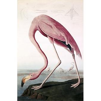 Amerikanische Flamingo Audubon Lithographie Poster drucken