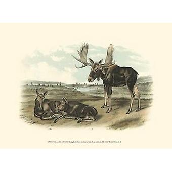 Moose Deer Poster Print by John Woodhouse Audubon (13 x 10)