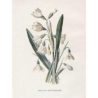 Galanthus y copo de nieve Poster Print por Gwendolyn Babbitt