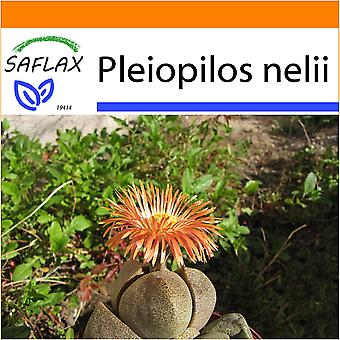 Saflax - Garden in the Bag - 40 seeds - Living Granite - Cleft Stone - Pleiospilos tricolore - Piedras vivas - Lebender Granit